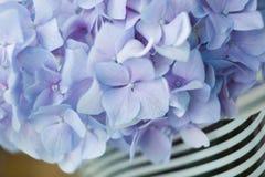 niebieska hortensji Obrazy Royalty Free