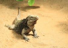 niebieska iguana Obrazy Stock