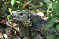 niebieska iguana Fotografia Royalty Free