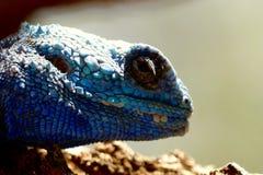 niebieska jaszczurka Zdjęcie Royalty Free
