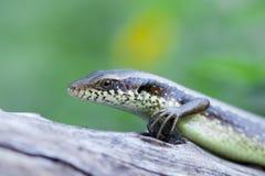 niebieska jaszczurka Obraz Stock