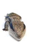 niebieska jaszczurka język. Zdjęcie Stock
