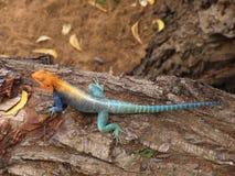niebieska jaszczurka pomarańcze Zdjęcia Royalty Free