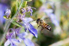 niebieska kwiaty pszczoły latać Obrazy Stock