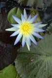 niebieska lily wody Zdjęcie Royalty Free