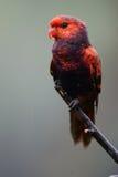 niebieska lorikeet czerwony Zdjęcie Stock