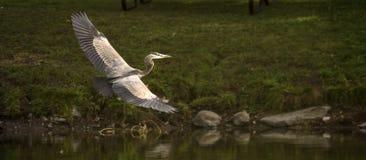 niebieska lot heron Fotografia Stock