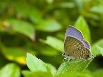 niebieska motylia trawy. Obrazy Stock