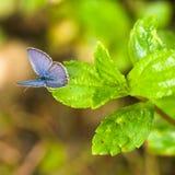 niebieska motylia trawy. Zdjęcia Stock