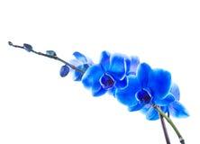 niebieska orchidea Obraz Royalty Free