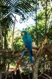 niebieska papuga obraz royalty free