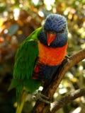 niebieska papuga Zdjęcia Royalty Free
