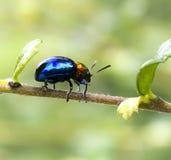 niebieska żuka Fotografia Stock