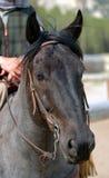 niebieski 1 koń deresz Fotografia Stock