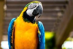 niebieski ara żółty Obrazy Stock