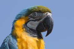 niebieski ara żółty Zdjęcie Stock