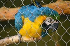 niebieski ara żółty zdjęcia stock
