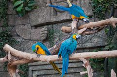 niebieski ara żółty Piękne ary papuzie na gałąź przeciw dżungli tłu obrazy royalty free