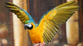 niebieski ary papugi żółty obrazy stock