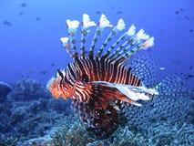 niebieski bystry barwiąca lwa głęboka woda ryb Zdjęcia Stock