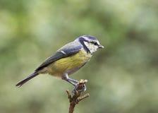 niebieski caeruleus cycek parus zdjęcia royalty free