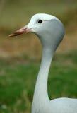 niebieski crane Zdjęcie Royalty Free
