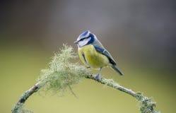 niebieski cycek Zdjęcie Royalty Free