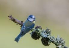 niebieski cycek zdjęcie stock
