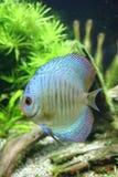 niebieski dysk ryb ze skóry węża Obrazy Stock