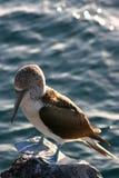 niebieski głupiec footed Galapagos Fotografia Stock