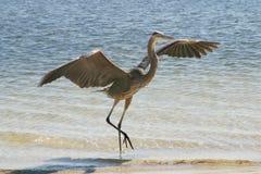 niebieski heron lądowanie Fotografia Royalty Free