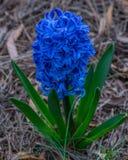 niebieski hiacynt Fotografia Royalty Free