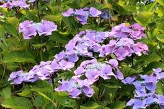 niebieski hortensia fotografia stock