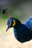 niebieski indyjski paw Obraz Stock