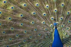 niebieski indyjski pawie Zdjęcia Royalty Free