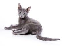 niebieski kociak rusek Zdjęcia Royalty Free