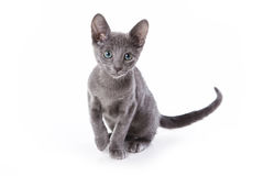 niebieski kociak rusek fotografia royalty free
