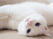niebieski kocie oczy Fotografia Royalty Free