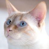 niebieski kocie oczy Zdjęcia Royalty Free