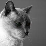 niebieski kocie punkt siamese Zdjęcie Royalty Free