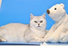 niebieski kot się Zdjęcie Stock