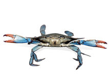 niebieski kraba walki poza Obrazy Royalty Free