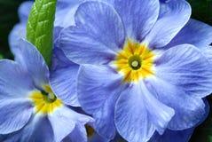 niebieski kwiat Obraz Stock