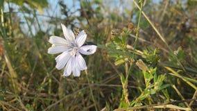 niebieski kwiat Fotografia Royalty Free