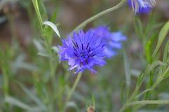 niebieski kwiat Obrazy Stock