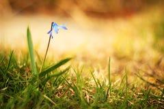 niebieski kwiat Zdjęcia Royalty Free