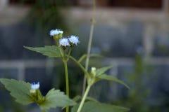niebieski kwiat Obraz Royalty Free