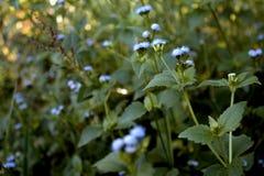 niebieski kwiat Zdjęcie Royalty Free