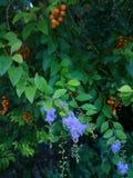 niebieski kwiat Zdjęcie Stock