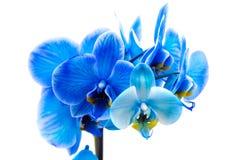 niebieski kwiat orchidei zdjęcie royalty free
